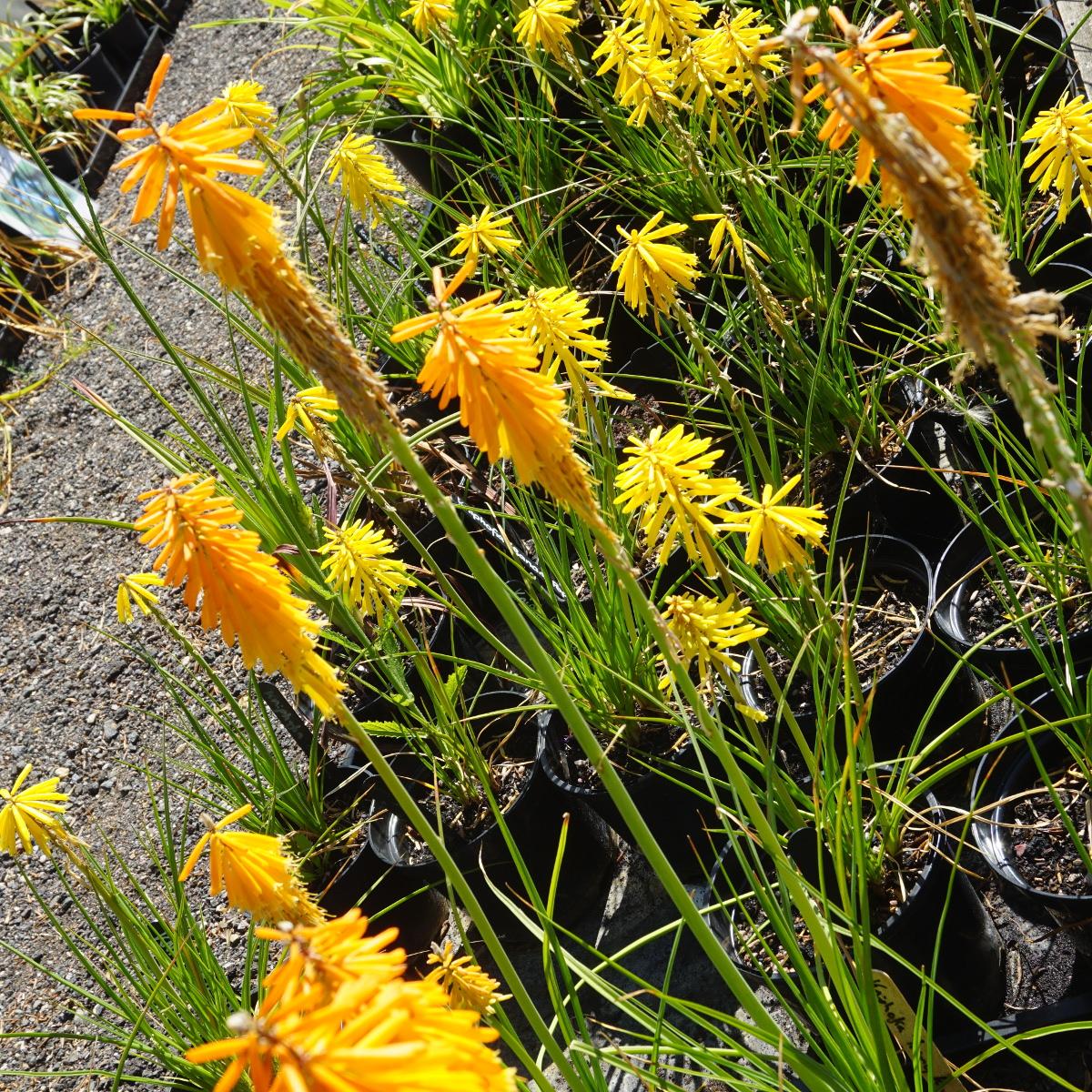 Kniphofia Red Hot Poker Bees Lemon 2 Litre Tall Pot 7 50 Enchanted Gardens Kent