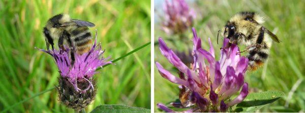 shrill-carder-bee